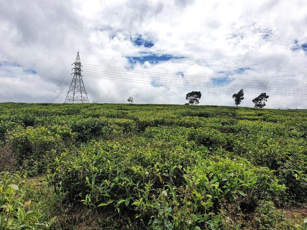 Moon Plains Tea Field, Nuwara Eliya, Sri Lanka