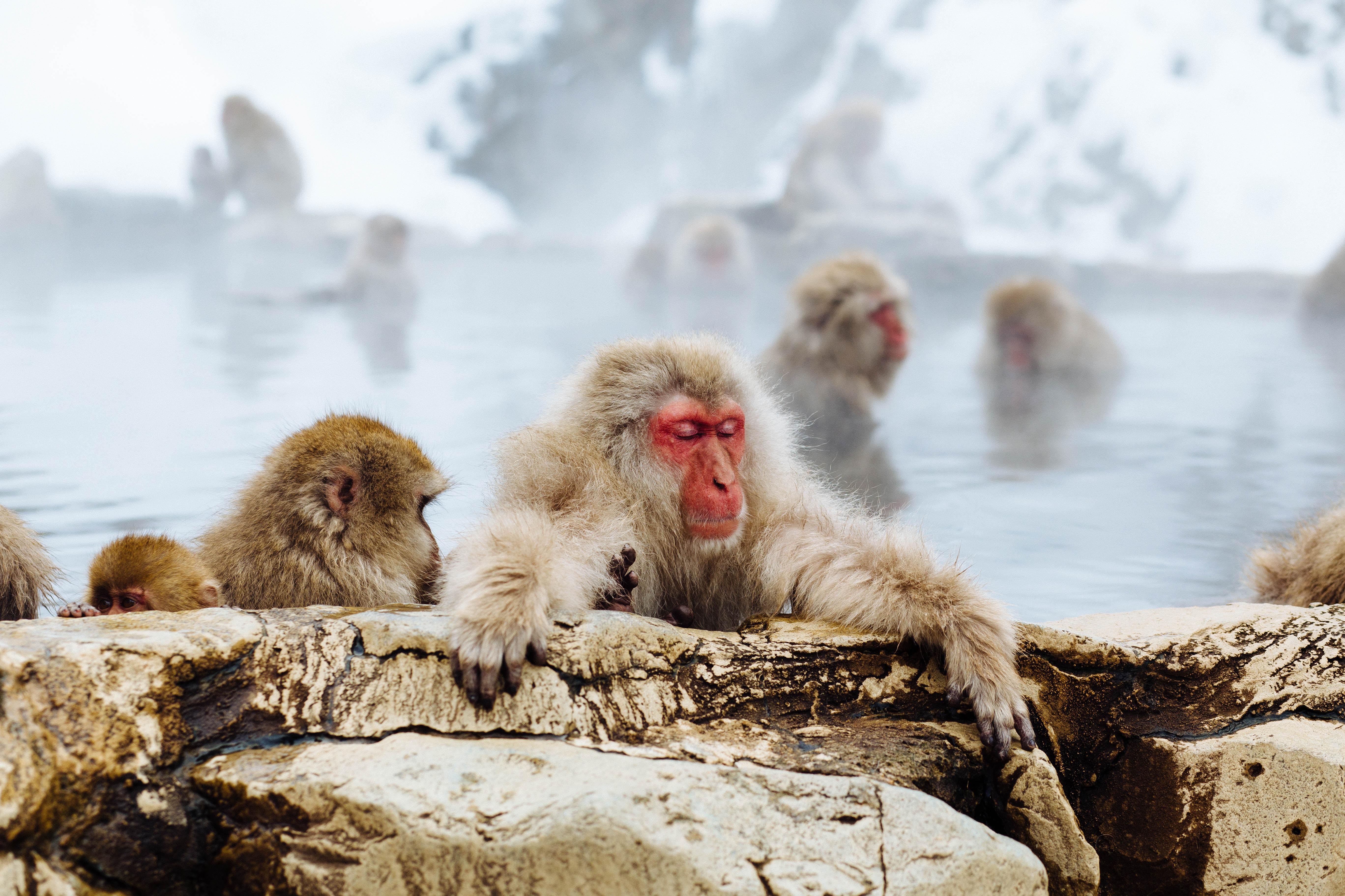 Monkey Park Iwatayama. Kyoto, Japan