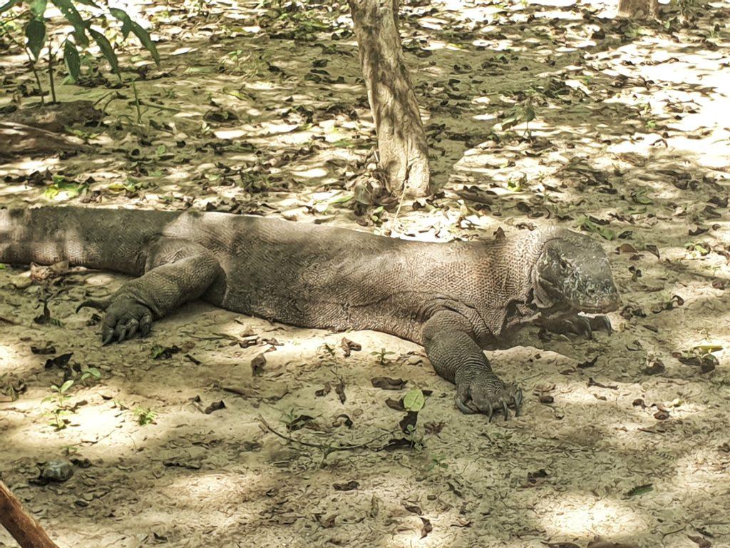 komodo dragon, Komodo island, Indonesia